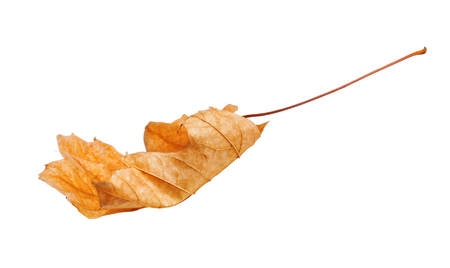 Autumn maple branch with leaves  isolated on white background Stock Photo