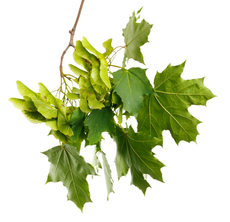 Green summer branch of maple on white isolated background Stock Photo