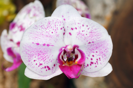 Beautiful pink orchid branch variety Phalaenopsis  on abstract background outdoor in  garden