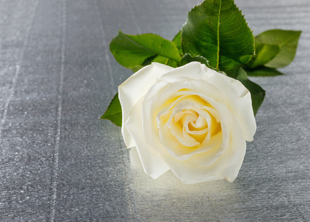 Beautiful white rose for Valentines day or wedding on table. Greeting card Stock Photo