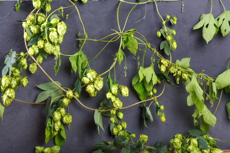 Thickets of ripe green hops with cones and seeds on black stone wall