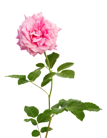 Beautiful blooming pink rose for mothers day on a white isolated background
