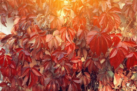 Red Virginia creeper climbing up on old wooden wall of building