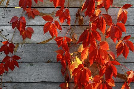 Red Virginia reductor trepando por la antigua muralla de madera del edificio