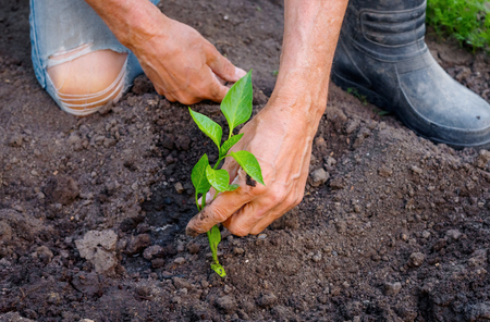 Farmer planting young seedlings of pepper in vegetable garden. Strong hands close up Stock Photo