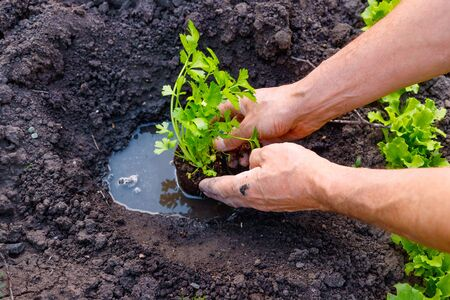 Farmer planting young seedlings of parsley in vegetable garden. Strong hands close up Stock Photo