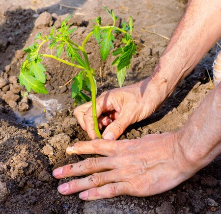 Farmer planting young seedlings of tomato in vegetable garden. Strong hands close up