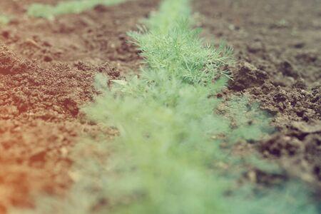 Bed of fresh green dill in the village garden Archivio Fotografico - 124899577