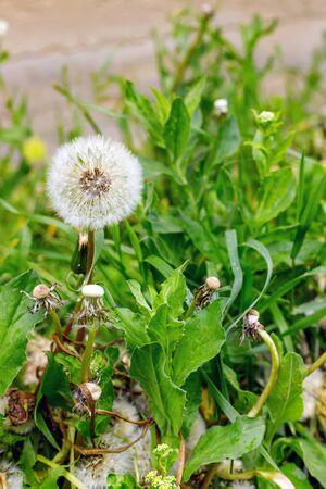Green field of beautiful fluffy dandelions outdoors Imagens