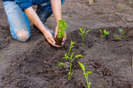 Farmer planting young seedlings of parsley in vegetable garden. Strong hands close up Stock Photo - 124901310