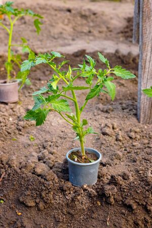 Small green sprout tomato plant on pot before planting in garden