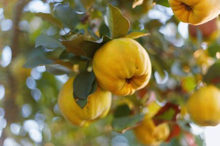 Fresh ripe quince fruits on branch against the sky and foliage