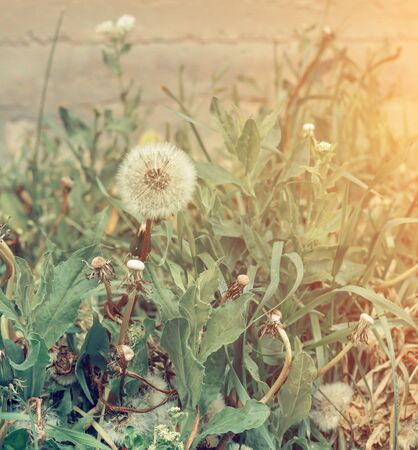 Green field of beautiful fluffy dandelions outdoors Stock Photo