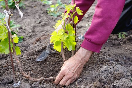 Elderly retired man caring for young vine of grapes, outdoors in his garden. Hand close-up Stock Photo