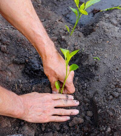 Man farmer planting pepper seedlings in garden outdoors. Strong hands close up
