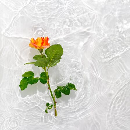 Beautiful rose petals macro with drop floating on surface of the water close up. It can be used as background.   Flat lay, top view, copy space concept. 版權商用圖片