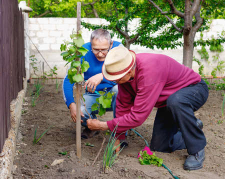 Two diligent serious farmers discuss how to care for young green grape bush