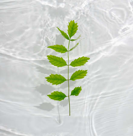 Beautiful green leaves macro with drop floating on surface of the water close up. It can be used as background. Flat lay, top view, copy space concept.