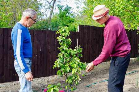 Two serious positive friendly farmers discuss taking care of young pear tree in outdoor garden