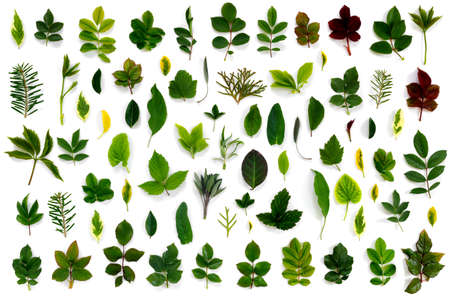 Pattern of various green leaves on white isolated background. Flat lay, top view, copy space concept.