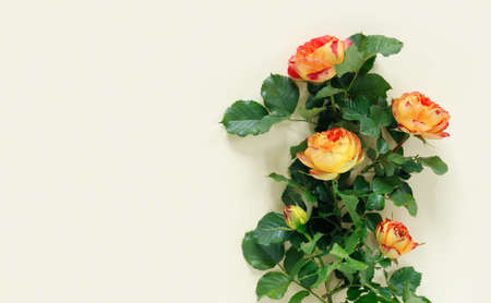 Beautiful orange rose on delicate yellow paper background. Flat lay, top view, copy space creative. Foto de archivo