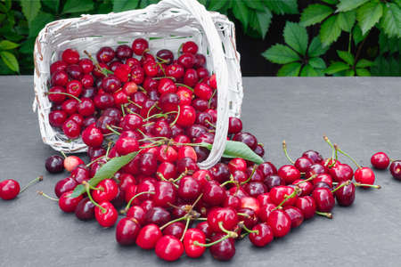 Fresh crop of cherry berries on gray stone countertop, against background of summer greenery.