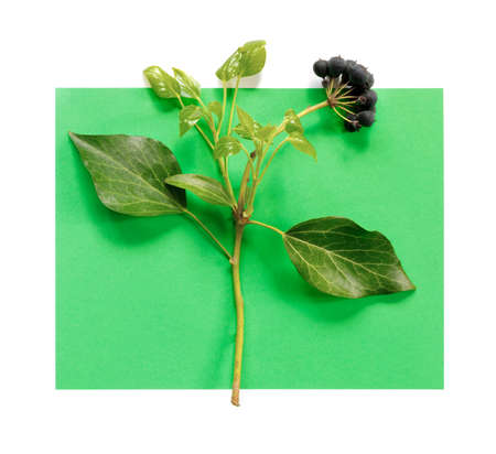 Aronia branch with leaves on green paper background. Chokeberry creative design. Flat lay, top view, copy space concept. Foto de archivo - 155232915