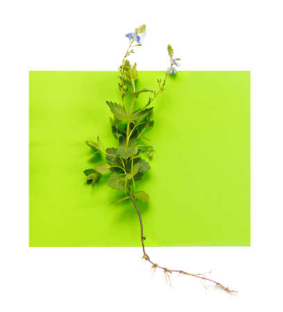 Beautiful blue flower of germander speedwell with leaves and root on green paper background. Veronica chamaedrys creative design. Flat lay, top view, copy space concept. Foto de archivo - 155232910