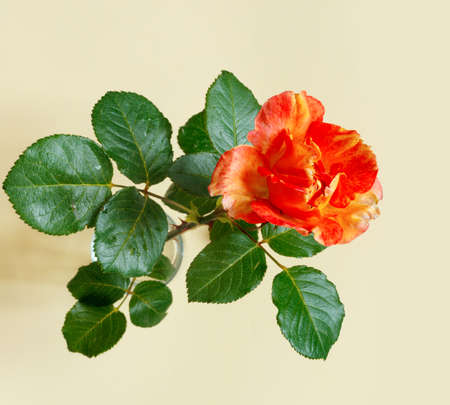 Beautiful orange rose on delicate yellow paper background. Flat lay, top view, copy space creative. Foto de archivo - 155232939
