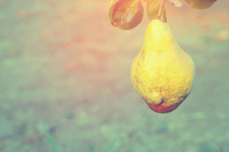 Fresh ripe quince fruits on branch, against background of trees and foliage Foto de archivo