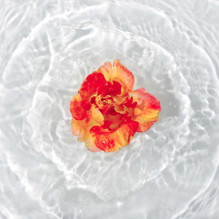 Beautiful rose petals macro with drop floating on surface of the water close up. It can be used as background. Flat lay, top view, copy space concept. Foto de archivo - 156853319