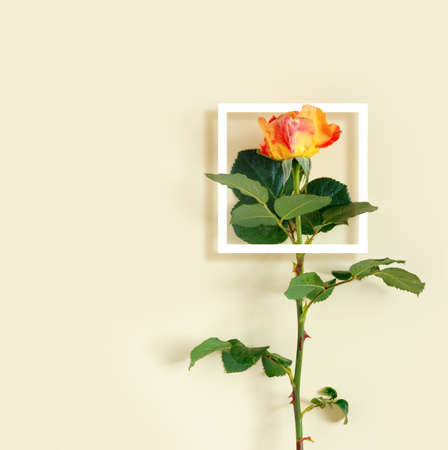 Beautiful red rose with white frame on delicate yellow background. Creative greeting card. Flat lay, top view, copy space concept. Foto de archivo - 156853339