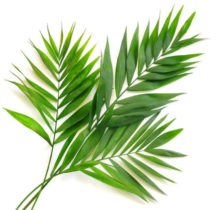 Palm leaves on white background. Minimal summertime concept.