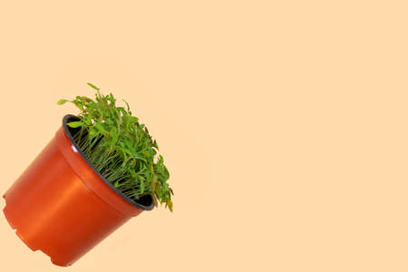 Tomatoes vegetables seedling sprouts in plastic pots. Gardening concept. Flat lay, top view, copy space for text.