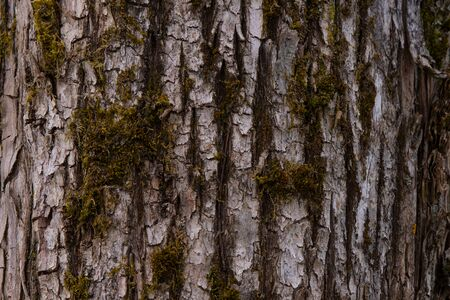 Olive tree Olea europaea bark background texture pattern