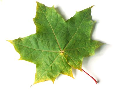 Green yellow maple leaf photo