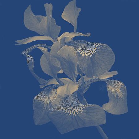 iris flower: iris flower background