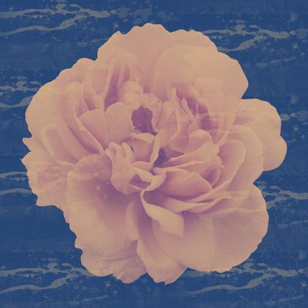 peon: Pink peon flower background Stock Photo