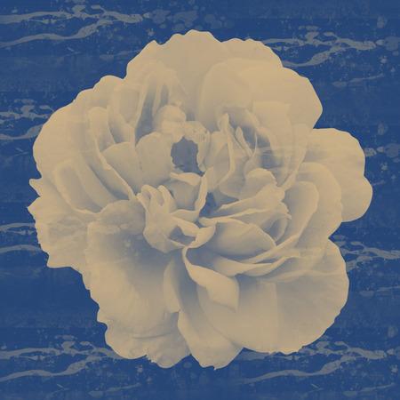 peon: peon flower background Stock Photo