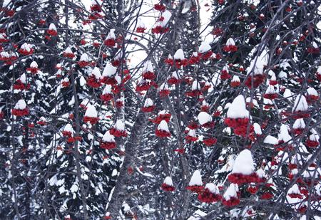 snowy mountain ash Stock Photo