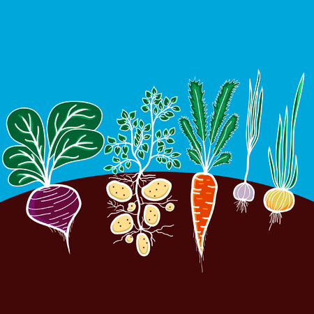 Illustration with growing vegetables - beetroot, potato, carrot, garlic and onion