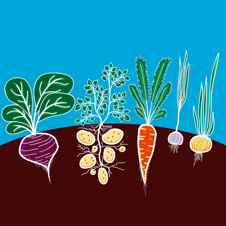 beetroot: Illustration with growing vegetables - beetroot, potato, carrot, garlic and onion