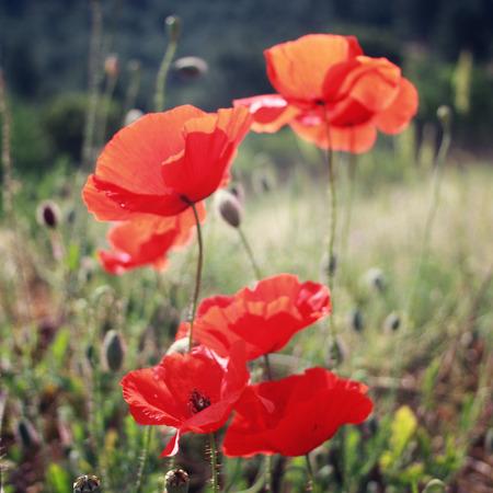 oriental poppy: Red Poppies grow - vintage filter. Poppy flowers along the Lycian Way - retro effect. Lycian Way Trek In Turkey, Turkey - toned photo. Antalya Province, Turkey. Stock Photo