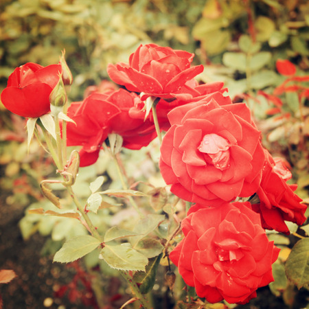 bunched: Red Rose bush - vintage effect. Blooming roses bunched together - retro filter. Red rose background. Flowers.