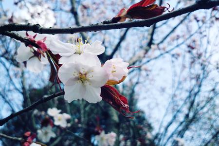 blossom time: Cherry flowers in bloom. Aged photo. Flowers bloom in spring season. Sakura Blossom Time. Blossoming cherry flowers in spring. Retro filter photo. Sakura blooming. Vintage effect.