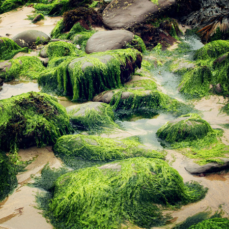 Green seaweeds and rocks in Waterville, County Kerry - vintage effect. Landscape along the Ring of Kerry - retro photo. Ireland.