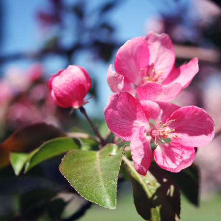 blossom time: Pink apple flowers in bloom. Spring. Aged photo. Flowers bloom in spring season. Apple Blossom Time. Blossoming apple flowers in spring. Retro filter photo. Blossom apple tree. Vintage effect.