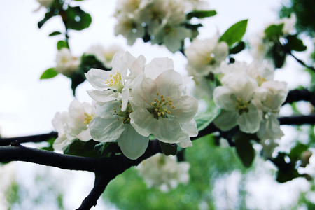 blossom time: Apple flowers in bloom. Aged photo. Flowers bloom in spring season. Apple Blossom Time. Blossoming apple flowers in spring. Retro filter photo. Blossom apple tree. Vintage effect.
