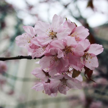 blossom time: Pink sakura bloom. Spring season. Toned photo. Flowers bloom in spring season. Sakura Blossom Time. Blossoming cherry flowers in spring. Retro filter photo. Sakura blooming. Vintage effect. Stock Photo