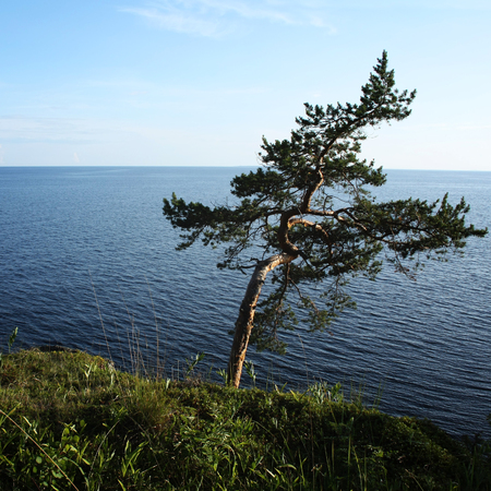 wind blown: Pine tree inclined by the wind. Toned photo. Lone tree stands near the shore of the Ladoga lake. Island of Valaam, Republic of Karelia, Russia.